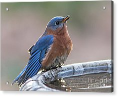 Male Eastern Blue Bird Acrylic Print