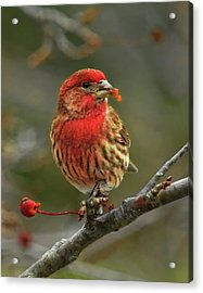 Male House Finch With Crabapple Acrylic Print
