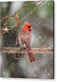 Male Red Cardinal Snowstorm Acrylic Print