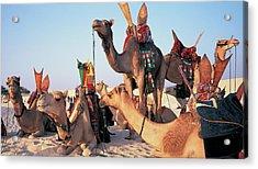Mali, Timbuktu, Sahara Desert, Camels Acrylic Print by Peter Adams