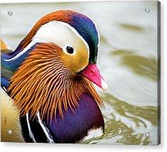Mandarin Duck Portrait Acrylic Print