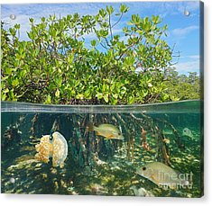 Mangrove Above And Below Water Surface Acrylic Print by Damsea