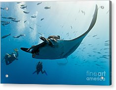 Manta And Diver On The Blue Background Acrylic Print