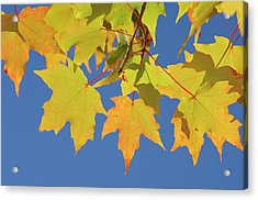 Maple Acer Sp. Autumn Leaves Against Acrylic Print by Martin Ruegner