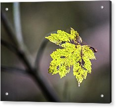 Acrylic Print featuring the photograph Maple Bright by Michael Arend