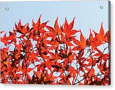 Maple Tree Foliage Acrylic Print by Andrew Dernie