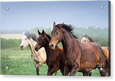 Mare With Foal Galloping In A Field Acrylic Print