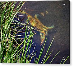 Acrylic Print featuring the photograph Maryland Blue Crab Lurking In An Assateague Marsh by Bill Swartwout Fine Art Photography