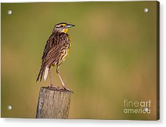 Acrylic Print featuring the photograph Meadowlark On Post by Tom Claud