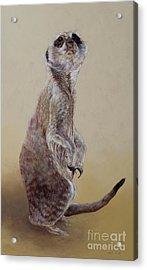 Meerkat Two Acrylic Print