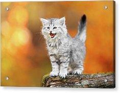 Meowing Little Baby Kitten Autumn Acrylic Print by Kim Partridge/partridge-petpics