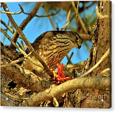 Acrylic Print featuring the photograph Merlin Eating Breakfast by Debbie Stahre