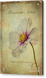 Mexican Aster Acrylic Print