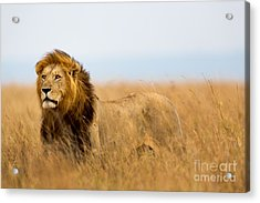 Mighty Lion Watching The Lionesses Who Acrylic Print