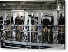 Milking In Process Acrylic Print by Emesilva