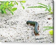 Acrylic Print featuring the photograph Millipede-namibia by PJ Boylan