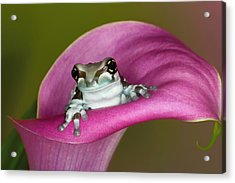 Mission Golden-eyed Tree Frog Or Milk Acrylic Print by Adam Jones