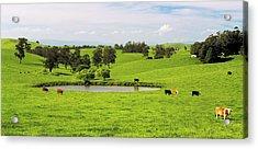 Mixed Breeds Beef Cattle Grazing Near Acrylic Print