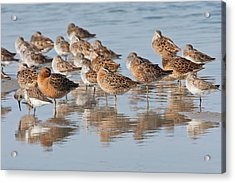 Mixed Shorebirds In Laguna Madre Acrylic Print