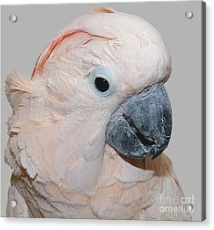 Acrylic Print featuring the photograph Moluccan Cockatoo by Debbie Stahre