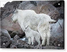 Mom And Baby Mountain Goat Acrylic Print