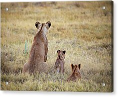 Mom And Cubs Acrylic Print