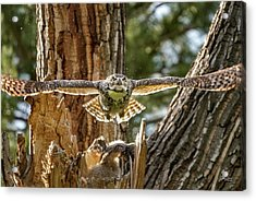 Momma Great Horned Owl Blasting Out Of The Nest Acrylic Print