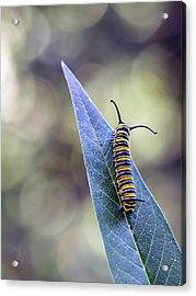 Monarch Butterfly Grub On A Leaf Acrylic Print by Alberto J. Espiñeira Francés - Alesfra