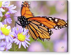 Monarch Close-up Acrylic Print
