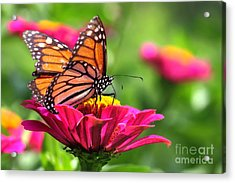 Monarch Visiting Zinnia Acrylic Print