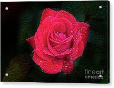 Morning Mist On Red Rose Acrylic Print