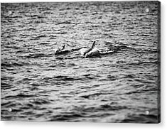 Mother Dolphin And Calf Swimming In Moreton Bay. Black And White Acrylic Print