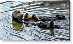 Mother Sea Otter Relaxing With Baby Acrylic Print