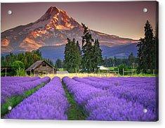Mount Hood Lavender Field  Acrylic Print