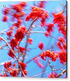 Mountain Ash Tree With Berries In Very Strong Wind Acrylic Print