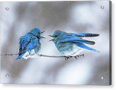 Mountain Bluebirds On A Snowy Day Acrylic Print