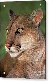 Mountain Lion Portrait Wildlife Rescue Acrylic Print