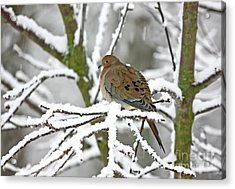 Mourning Dove In Snowstorm Acrylic Print