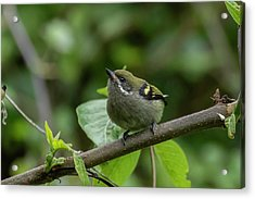 Moustached Tinkerbird Acrylic Print