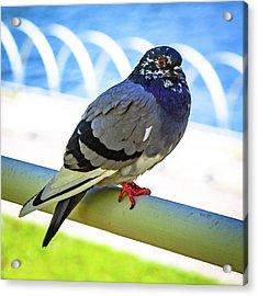 Mr. Pigeon Acrylic Print