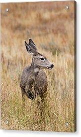 Mule Deer Pose Acrylic Print