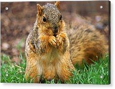 Munching Cute Fox Squirrel Acrylic Print