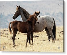 Mustang Colt And Mare Acrylic Print