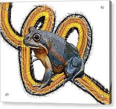 N Is For Northern Banjo Frog Acrylic Print