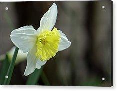 Narcissus - 19 4918 Acrylic Print
