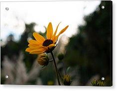 Narrowleaf Sunflower 2 Acrylic Print by Christine Buckley