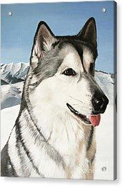 Nayuk Alaska Malamute Acrylic Print