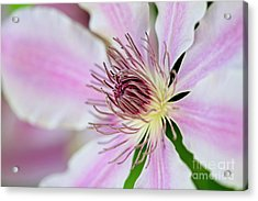 Nelly Moser Acrylic Print