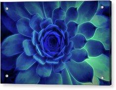 Neon Blue Sempervivum Acrylic Print