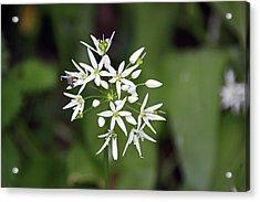 Neston. Wild Garlic. Acrylic Print